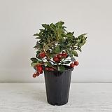 루비산사나무/공기정화식물/반려식물/온누리 꽃농원|