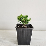 황금짜보/공기정화식물/반려식물/온누리 꽃농원|
