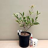 향기 무늬계화나무/3-동일품배송|