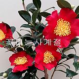 유레다이또동백(꽃대대품/7)-동일품배송|