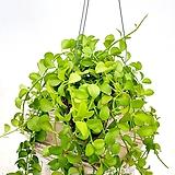 풍성하다 풍성해 디시디아 에어플랜트 공중식물 공기정화식물|