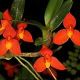 막실라리아 소프로니스트(발강색꽃).다시입고. 잎,꽃앙징맞고 예쁩니다.토분.인기상품.상태굿.|