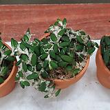 덴드로비움.리체나스트럼(상태굿).(꽃은 아주 작은  연주황색).잎모양과꽃모양이 앙징맞고 예쁩니다.인기상품.토분.|