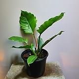 필로덴드론 플루토 수입식물 99