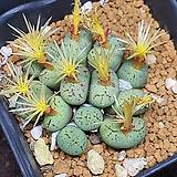 Conphytum uviforme ssp 유비포르미13두|