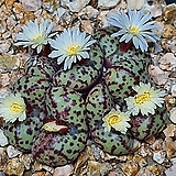 Conophytum  picturatum (픽투라튬7두)|