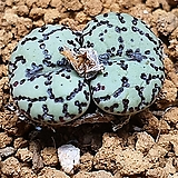 Conophytum obcordellum ssp ( 우르스프런기아눔)|