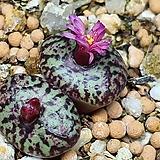Conophytum obcordellum ssp 일본 신품종 남정|