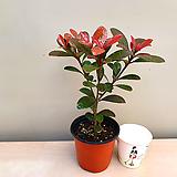 후피향나무(외목소품)|