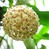 호야.아이보리브라운가미된 별사탕모양꽃.꽃색깔예뻐요.잎모양도 예뻐요.향기좋은향.인테리어효과.공기정화식물.|Hoya carnosa