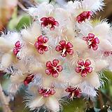 호야.수마트라(핑크색.특이한 형).꽃색깔예뻐요.잎모양도 예뻐요.향기좋은향.인테리어효과.공기정화식물.|