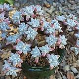 화이트그리니 (556)ㅡ완전묵은둥이.자연군생 50두이상|Dudleya White gnoma(White greenii / White sprite)