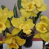 카틀레야.노랑색대형종.(그린노랑색에서에 노랑색으로 변함).신상품입고.아주예쁜색.고급종.꽃대형종.향기좋은향.고급종.인기상품.상태굿.꽃대있어요.|