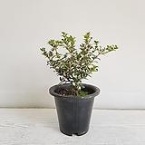 호랑가시 은목서/공기정화식물/반려식물/온누리 꽃농원|