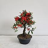 피라칸샤스 분재/공기정화식물/반려식물/온누리 꽃농원|