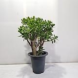 꽃피는 염좌/공기정화식물/반려식물/온누리 꽃농원|