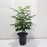 녹보수(신종)/공기정화식물/반려식물/온누리 꽃농원|happy tree