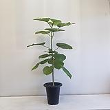 움베르타휘카스/공기정화식물/반려식물/온누리 꽃농원|
