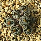 Wittebergense 위트버젠스|Conophytum Wittebergense