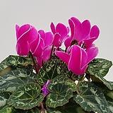 시클라멘(꽃분홍)|