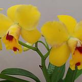 카틀레야.천사.노랑색에 갈색립프..고급종.잘않나오는 품종.인기상품.꽃대.잘나오지않은품종.아주예쁜색.|