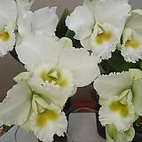 카틀레야 폰팁교배종.흰색꽃.신상품입고.아주예쁜색.고급종. 킹 대형종.향기아주좋은향.고급종.잘않나오는 품종.인기상품.꽃대있어요.~|