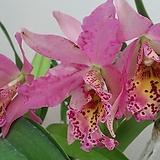 카틀레야.살구빛핑크색에 점박이립프.꽃색상환상.꽃대형종.향기좋은향.향기큰내줌.고급종.잘않나오는 품종.인기상품.꽃대있어요.|