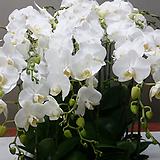 호접란.아마빌리스.기다리고 기달렸던품종.꽃만개.(하얀순백색).고급종.상태굿.~|