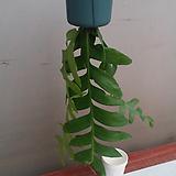 크리소카디움.흰색꽃.걸이.잎3대.공중식물.인테리어효과.공기정화식물.카페에 연출.베란다연출.북유럽스타일.MD추천.|