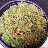 72.붉은섬털바위솔 