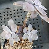 퍼플딜라이트 Graptopetalum Purple Delight