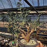 Pelargonium carnosum|