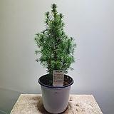 가문비나무 썬온더스카이 159|