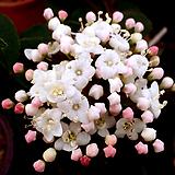 동설목(꽃대수형)|
