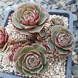 환엽롱기시마(34)ㅡ자연군생.묵은둥이|Echeveria longissima