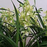 동양란.스프링파우.꽃대2대.동양란,서양란교배종입니다.좋은향.잎풍성.상태굿.|
