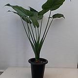 알로카시아/공기정화식물/높이103션치/멋스러워요|Alocasia