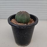 오베사|Euphorbia obesa (Baseball Plant)