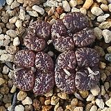 Pellucidum Neohallii 펠루시덤 네오할리|Echeveria Lucy