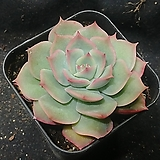 핑크팁스|Echeveria Pink Tips