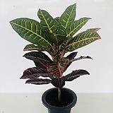 크로톤(동일품배송 )|Codiaeum Variegatum Blume Var Hookerianum
