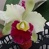 카틀레야.찰리.흰색에붉은립프꽃대형종.향기좋은향.고급종.잘않나오는 품종.인기상품.꽃대.~|