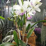 카틀레야 하와이스타(아주예쁜색).흰색에붉은립프. 상태굿.향기좋은향.고급종.잘않나오는 품종.인기상품.꽃대.~|