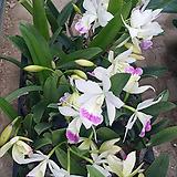 카틀레야 하와이스타(아주예쁜색).흰색에붉은립프. 상태굿.향기좋은향.고급종.잘않나오는 품종.인기상품.꽃대|
