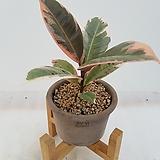 수채화고무나무완성품(13cm화분)|Ficus elastica