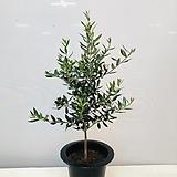 올리브나무(동일품배송 )|