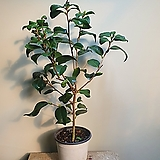 보카시 동백나무 겨울꽃 99|