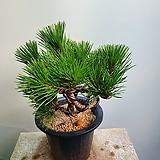 소나무 대품 분재식물 199|