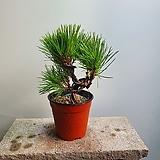 소나무 중품 분재식물 99|