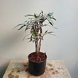 저스티시아 그레이 수입식물 199|